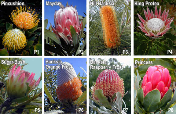 Hawaiian greeting cards native hawaiian flower greeting cards protea flower greeting cards m4hsunfo